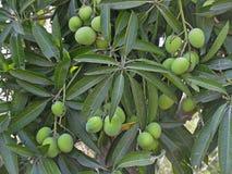 Manghi di Alphonso Fotografie Stock