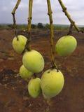 Manghi di Alphonso Immagine Stock Libera da Diritti