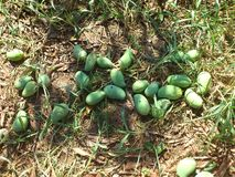 Manghi recentemente raccolti (mango) Fotografia Stock Libera da Diritti