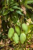 Manghi su un albero di mango in piantagione Fotografia Stock
