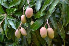 Manghi sugli alberi Fotografie Stock Libere da Diritti