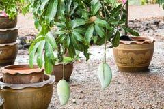 Manghi verdi crudi sull'albero in giardino domestico Fotografia Stock Libera da Diritti