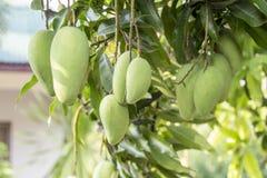 Manghi verdi sull'albero di mango Fotografie Stock Libere da Diritti