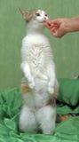Mangia il gatto Fotografie Stock