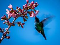 Mangiare e volo dell'uccello di ronzio Fotografia Stock Libera da Diritti