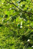 Mangiatore di ape verde, visto nel parco nazionale del udawalawe, lo Sri Lanka fotografie stock libere da diritti