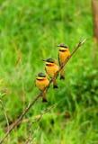 Mangiatori di ape dell'albero sulla filiale Fotografie Stock Libere da Diritti