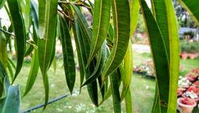 Mangifera indica Mango Green Leaves Tree stock images