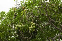 Mangifera Indica with Fruits. High up in Tree and suspended by slender branches are bunches of ripe and unripe mangoes. Bunch sizes varies, having as much as 12 royalty free stock images
