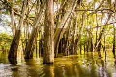 Mangle en una laguna cerca del río Amazonas Fotos de archivo