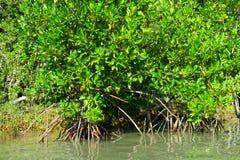 Mangles en el agua en el parque nacional del ROI Yot de Khao Sam Foto de archivo