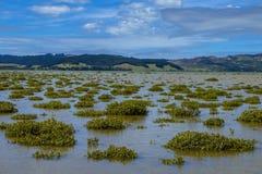 Mangles en el estuario de Hokianga Imagen de archivo