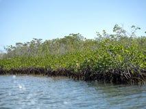 Mangles, mar del Caribe, Belice fotos de archivo libres de regalías