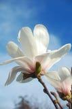 Mangnolia Blumen Lizenzfreie Stockbilder