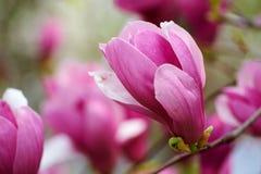 The mangnolia Stock Photo