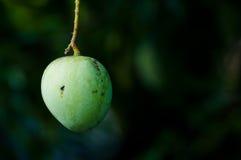 mango Royaltyfri Fotografi