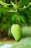 Mango. Fresh green mango on tree Stock Photos