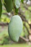 Mango Lizenzfreies Stockfoto
