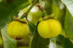 Mango-adolescente en árbol Imagen de archivo libre de regalías