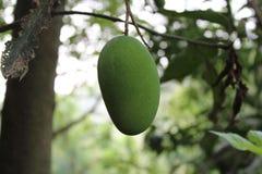 Mango allein Lizenzfreie Stockbilder