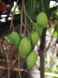 Mango auf Baum Lizenzfreie Stockbilder