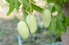 Mango auf Baum in der Plantage, in Thailand Stockfoto