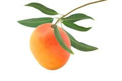 Mango auf einer Niederlassung lokalisiert auf Weiß Stockbilder
