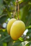 Mango bär frukt på ett träd arkivfoto