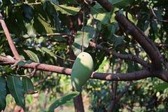 Mango bär frukt skada från plåga Royaltyfri Fotografi