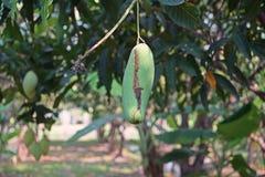 Mango bär frukt skada från plåga Fotografering för Bildbyråer