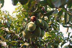 Mango bär frukt skada från plågan som är rutten Royaltyfri Foto