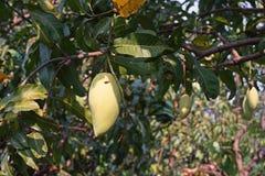 Mango bär frukt skada från plågan som är rutten Arkivbild