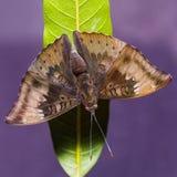 Mango Baron butterfly Stock Photo