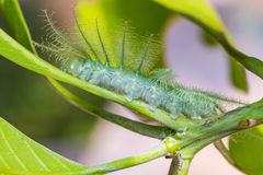 Mango Baron caterpillar Royalty Free Stock Images