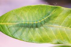 Mango Baron caterpillar Royalty Free Stock Photos