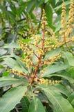 Mango blommar i fältet Arkivfoto