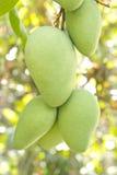 mango boom Royalty-vrije Stock Foto