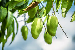 Mango on a branch.  Green fresh Mango on a branch Royalty Free Stock Photos