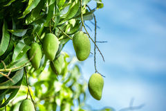 Mango on a branch.  Green fresh Mango on a branch Royalty Free Stock Image