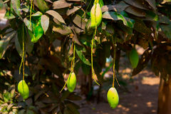 Mango on the branches Stock Photography