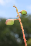 Mango Buds Royalty Free Stock Image