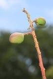 Mango Buds royalty free stock image