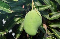 Mango bunch of the organic farm Royalty Free Stock Image