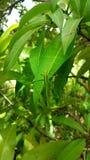 Mango camouflage royalty free stock image