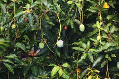 Mango tree with fruit and leaves royalty free stock photo