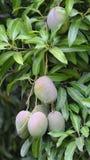 Mango di Petigre Fotografie Stock