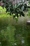Mango e pesce rosso fotografie stock