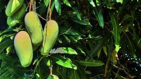 Mango en un árbol Fotos de archivo libres de regalías