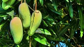 Mango en un árbol Imagen de archivo