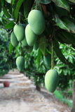 Mango farm Stock Images